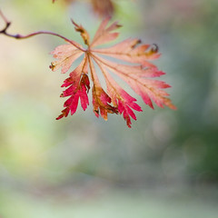 (.cascata.) Tags: autumn red fall yellow leaf maple bokeh arboretum westonbirt acer colourful