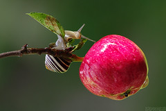 Autumn Charmer (Vie Lipowski) Tags: nature fruit wildlife snail crabapple detritivore