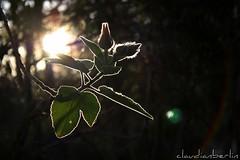 (claudianberlin) Tags: light sun plant flower leaves backlight flora flare sunshinecoast backlighting mttimbeerwah