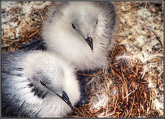 Waiting for Mom (Corkneyfonz) Tags: nest chicks farneislands canont90 kittiwake fd200mmf28