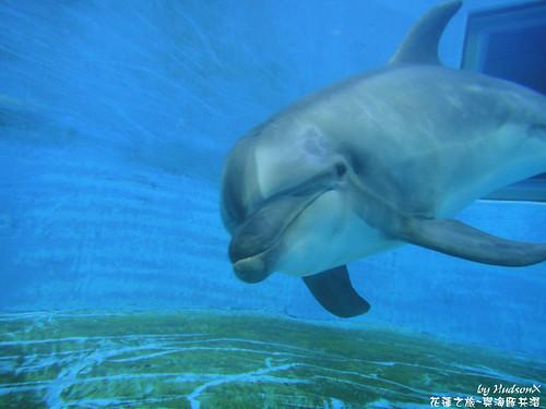 瓶鼻海豚(2)