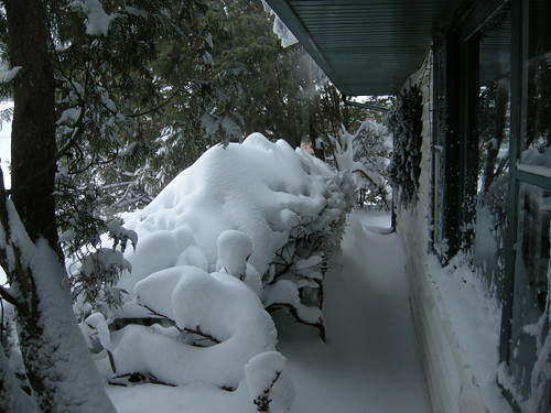 Drifted Snow on Bushes