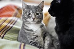 Lucy's cheeks (LoveMeow) Tags: cats silly cute cat grey furry kitten funny gray kitty kittens gato kawaii neko