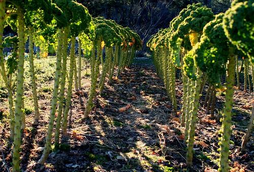 Kale Trees