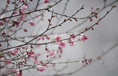 22 (oh.my.) Tags: japan tokyo blossoms plum  ume hanam