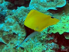 Longnose butterflyfish - Maldives