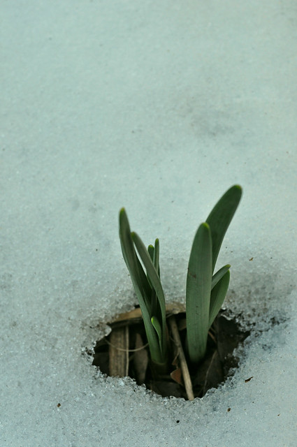 Narcissus Emerging
