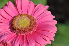 Sunflower (David Kan) Tags: amazingdetail goldstaraward excellentsflowers worldofflowers
