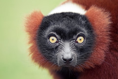 Red Ruffed Lemur (Jonne Seijdel) Tags: red portrait nature face animal closeup canon mammal monkey eyes lemur 7d madagascar rubra digitalcameraclub seijdel varencia