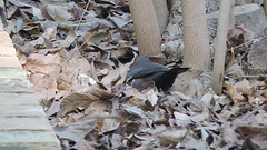 Common Blackbird, Turdus merula (asterisktom) Tags: 2017 trip201617iberiaafrica february spain valencia botanicalgarden bird vogel ave 鸟 niao птица 鳥 video commonblackbird turdusmerula blackbird amsel