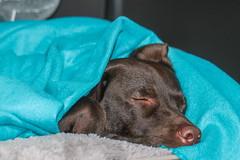 It's cold outside! (TonyinAus) Tags: labrador dog pet animals chocolatelabradors rest
