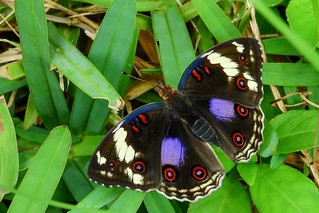 Junonia oenone (Dark Blue Pansy) Female (GH-0008)
