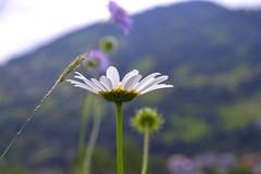 CSC_1229 (daryanikiforova) Tags: nature floweres sun солнце природа цветы растения карпаты
