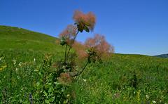 Cotinus coggygria (МирославСтаменов) Tags: russia kislovodsk caucasus borgustan mountain cotinus slope meadow shrub greenery