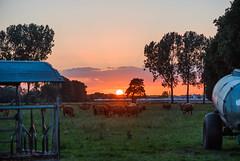 Sunset grazing session (Ir3nicus) Tags: sonsbeck nordrheinwestfalen deutschland de niederrhein germany afsvrmicronikkor105mm128gifed nikon d700 dslr fullframe outdoor countryside meadow cow kuh tier animal sunset sonnenuntergang sonne sun clouds wolken