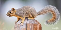 "Squirrel Close-up (dcstep) Tags: squirrel foxsquirrel englewood colorado unitedstates us n7a3983dxo canon5dmkiv ef500mmf4lisii allrightsreserved copyright2017davidcstephens dxoopticspro114 ""cherry creek state park"" post woodenpost bokeh ecoregistrationcase15586202651"