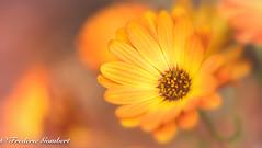 like a flame (frederic.gombert) Tags: flower flame color orange colors nikon macro light sun sunlight garden nature flora
