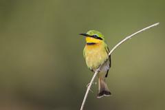 Little Bee Eater (matttrevillionphotography.com) Tags: chobe beeeater botswana