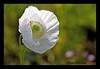 """PAPAVER SOMNIFERUM 2 (OPIO) (DIAZ-GALIANO) Tags: madrid flower canon spain flor blanca opium 70200 30d opio amapola greatphotographers mywinners platinumphoto thebestofday gününeniyisi diazgaliano """"flickraward"""" """"flickraward5"""" ¨papaver somniferum¨"""