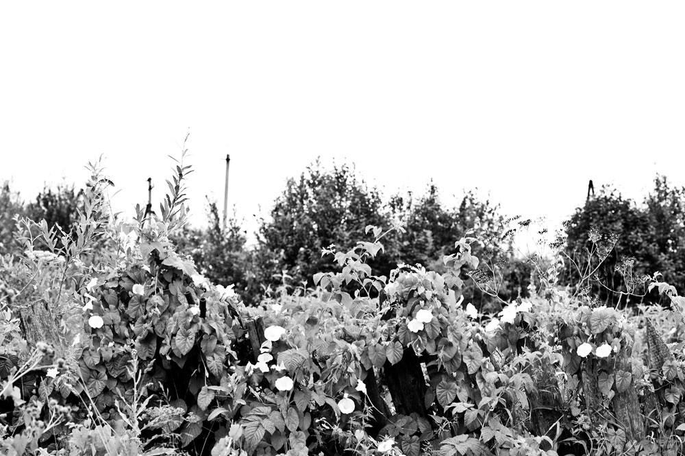 vines in Belozersk, Russia