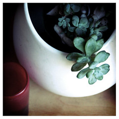 in the afternoon (p o n z u) Tags: plant succulent indoor