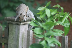 squirrel  043