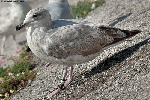 European Herring Gull, 2cy, Bk[511]W[A]