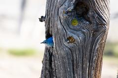 Mountain Bluebird (Robinsegg) Tags: nest yellowstonenationalpark wyoming mountainbluebird sialiacurrucoides westthumbgeyserbasin yellowstoneteton