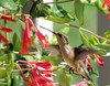 Humming Bird 04 (Hammer51012) Tags: lafayette hummingbird indiana honeysuckle tippecanoecounty