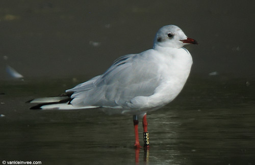Black-headed Gull, adult, Bk[R00S]