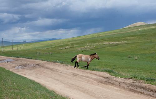 Przewalski hest