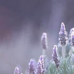 That's where dreams would be... (jewelflyt) Tags: vegas flower macro square lyrics soft purple bokeh lavender cropped processed herb sarabareilles hpps perfectpurplesaturday