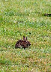 Rabbit (giantwolf) Tags: rabbit wildlife secluded thegranary cornwallaugust2010holidaycanon450dcanon450d
