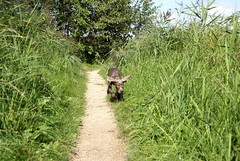 Fly like Dombo ([MogI]) Tags: dog chien green grass puppy outside happy groen wandelen nederland hond delft perro hund gras pup kutya lois pes blij staande moniquegidding slowaakse srhp slovakianroughhairedpointer slovenskyhrubosrstystavac slowaaksestaanderuwhaar lis notaweimaraner thisisnotaweimaraner slowaakseruwharigestaandehond srsh