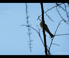 behind the lines (RC Sreejith | ) Tags: bird bluesky beeeater blackwoods greenbird treesilhouttes sreejithrc rcsreejith