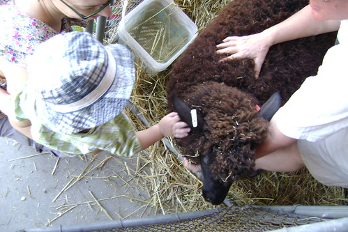 sheep petting