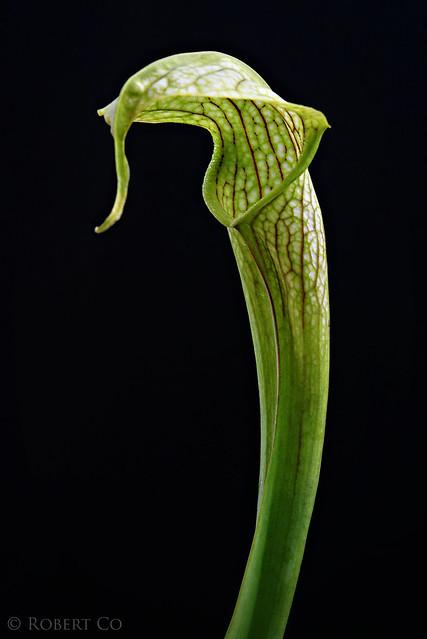 """Sarracenia rubra ssp. wheryii x """"Skywatcher"""""""