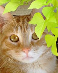Peek-A-Boo Baxter (njk1951) Tags: playing cat peekaboo baxter gatto sweetpotatovine mywinners saariysqualitypictures bestofmywinners boc910 bestofblinkwinners blinkagainsuperstars blinksuperstars blinkwin201410