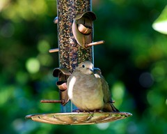 bird dove birdfeeder