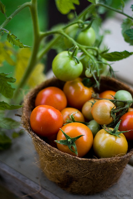 tomatoes after harvest