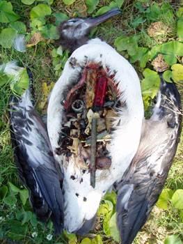 中途島上死亡信天翁的胃裡面都是塑膠垃圾。(照片來源:message in the waves)