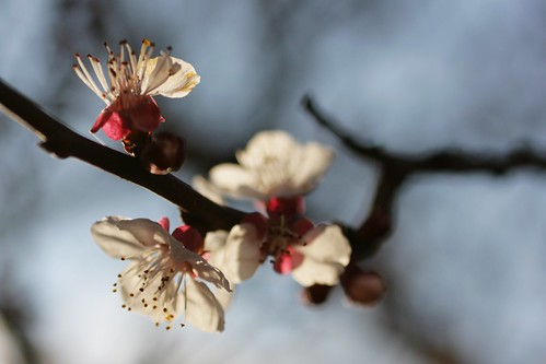 Day 252 - Apricot blossoms