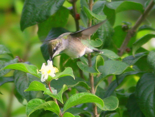 Ruby-throated Hummingbird 20100909