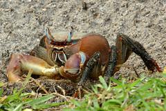 Gros... i poruc / Big, but fearful (SBA73) Tags: animal holidays zoom crab seychelles crabs fearsome cangrejos praslin cangrejo cranc crancs cardisomacarnifex mygearandme ilêdespalmes