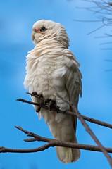 Ruffled (Geoff Main) Tags: bird australia canberra act naturesfinest littlecorella canon30d canonef100400f4556lisusm laketuggeranong