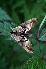 Paonias excaecatus- Blind Eyed Sphinx (Dennis Sheehy) Tags: sphinx blind moth maine eyed paonias 5044 excaecatus dennissheehy