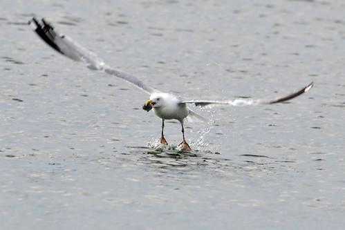 gull catches clam 3