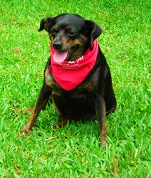 Black dog wearing red bandana sitting on the grass