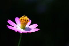 Shining Through (Aramalia) Tags: flower bigmomma flickrchallengegroup flickrchallengewinner canonefs1855mmf3556is thechallengefactory fwpp12