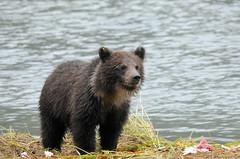 2010 Grizzly Bear Cub (DrLensCap) Tags: grizzly bear brown chilkoot lake state recreation site lutak alaska cub baby animal mammal robert kramer mygearandmepremium 100commentgroup